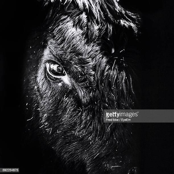 close-up of black angus - cow eyes stock pictures, royalty-free photos & images