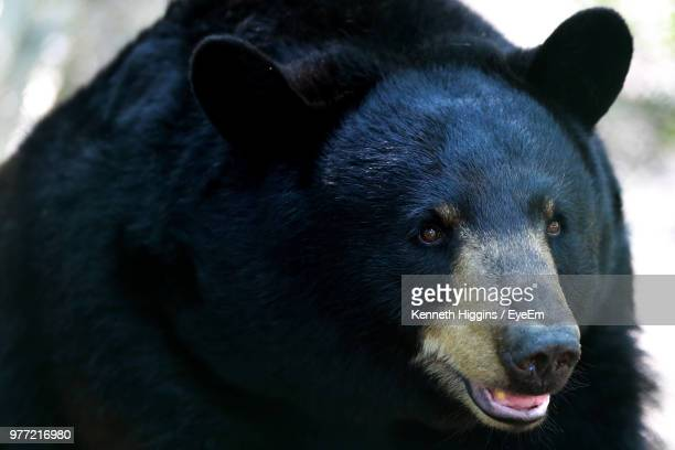 close-up of black bear - black bear stock pictures, royalty-free photos & images