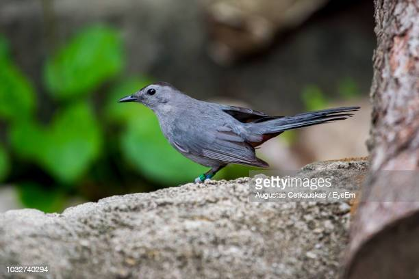 close-up of black bird perching on rock - cetkauskas stock pictures, royalty-free photos & images
