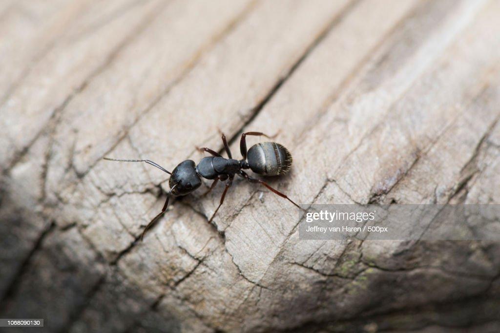 Close-up of black carpenter ant : Stock Photo