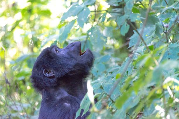 Close-up of black cat on tree,Uganda