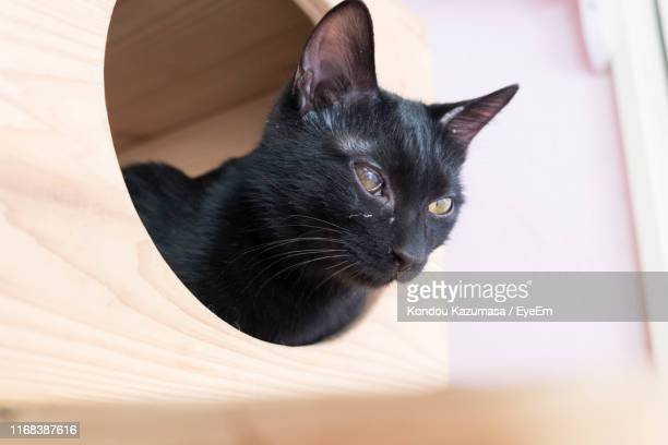 close-up of black cat relaxing at home - black siamese cat stock pictures, royalty-free photos & images