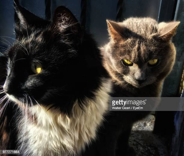 close-up of black cats - walter ciceri foto e immagini stock