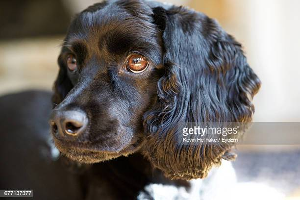 close-up of black cocker spaniel relaxing at home - cocker spaniel stock photos and pictures