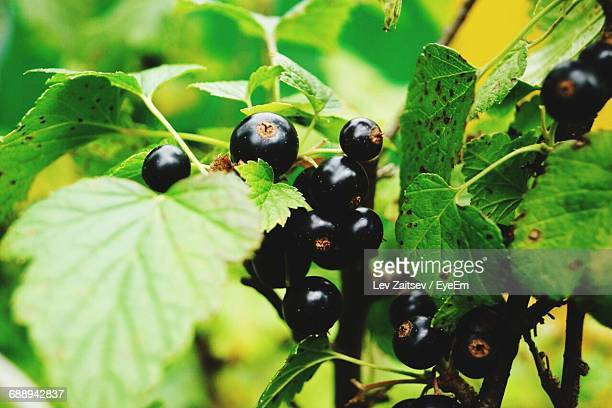 Close-Up Of Black Currant Growing Outdoors