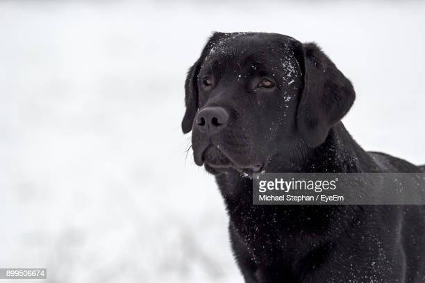 Close-Up Of Black Dog During Winter