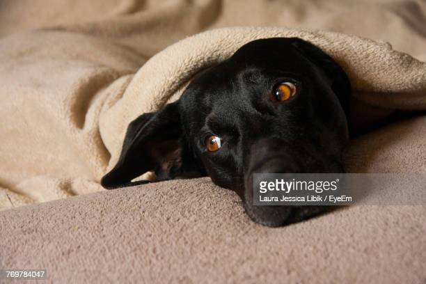 Close-Up Of Black Dog Relaxing On Bed At Home