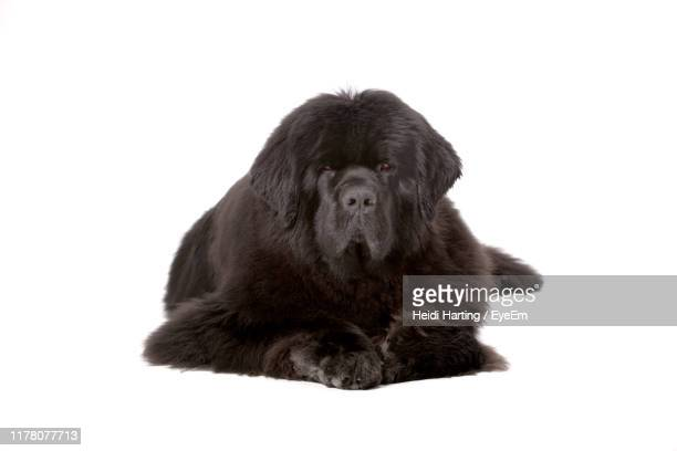 close-up of black dog sitting against white background - newfoundland dog stock photos and pictures