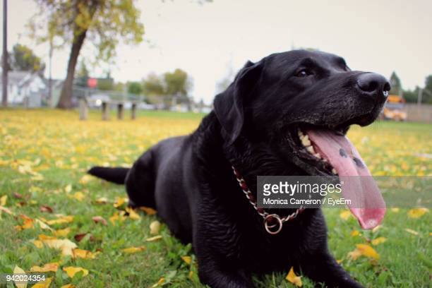 close-up of black dog sitting on grassy field - black labrador stock pictures, royalty-free photos & images