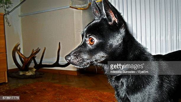 Close-Up Of Black Dog Standing At Home