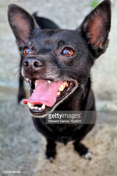 close-up of black dog standing on footpath - pawed mammal stock pictures, royalty-free photos & images