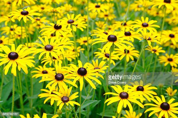 Black Eyed Susan Stock Photos And Pictures
