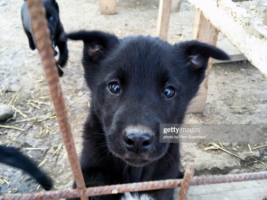 Closeup Of Black Husky Puppy In Svalbard Norway High Res Stock Photo Getty Images