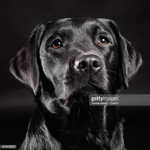 Close-Up Of Black Labrador At Home