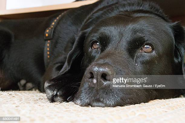 Close-Up Of Black Labrador Relaxing At Mat