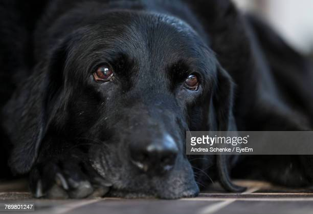 Close-Up Of Black Labrador Relaxing Outdoors