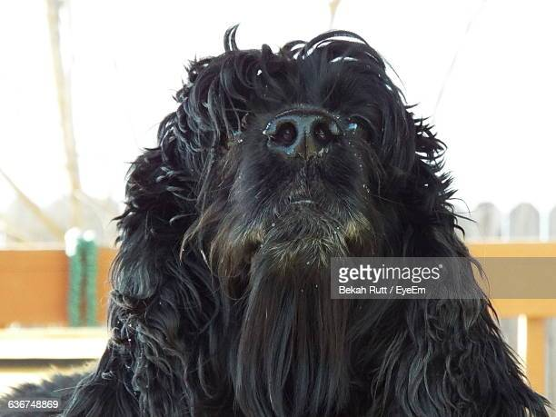 Close-Up Of Black Newfoundland Dog