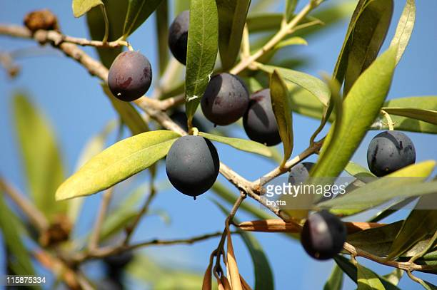 close-up of black olives ripening on the tree - olive orchard stock photos and pictures
