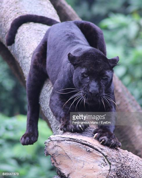 Close-Up Of Black Panther
