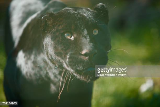 close-up of black panther - black panther face stock photos and pictures