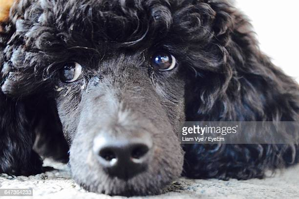 Close-Up Of Black Poodle Relaxing At Home