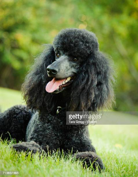 Close-Up Of Black Standard Poodle Sticking Out Tongue While Resting On Grassy Field