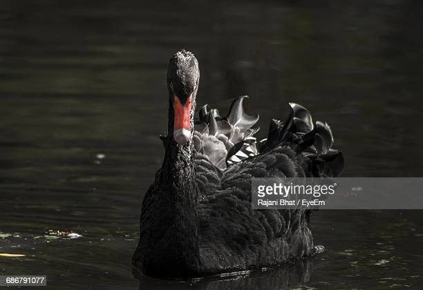 Close-Up Of Black Swan In Water