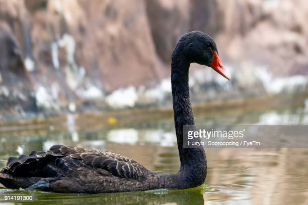 Close-Up Of Black Swan Swimming On Lake