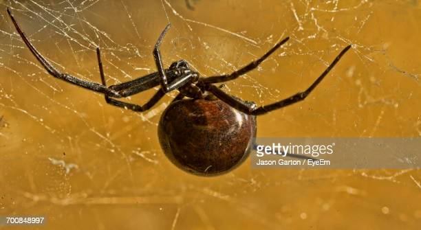 close-up of black widow spider on web - black widow spider stock photos and pictures