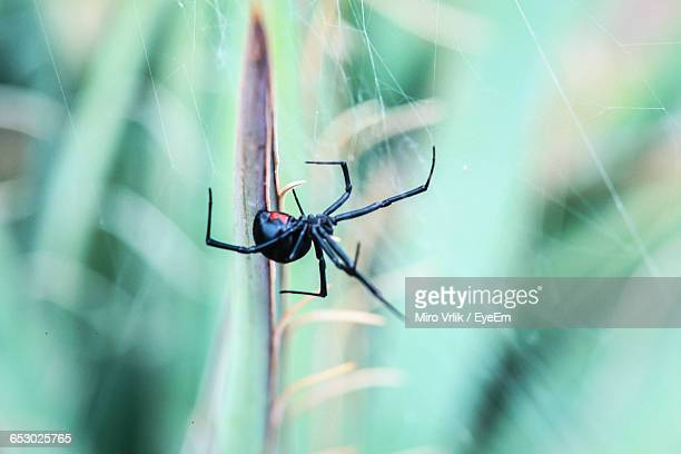 close-up of black widow spider - black widow spider stock photos and pictures