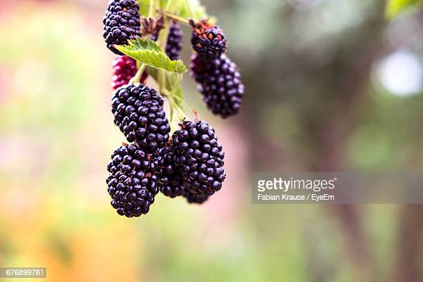 close-up of blackberries - blackberry fruit stock pictures, royalty-free photos & images