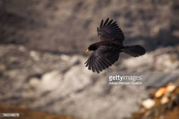 close-up of blackbird flying - merel stockfoto's en -beelden