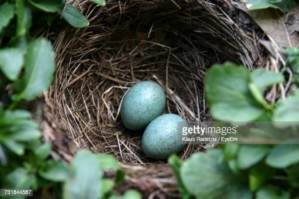 Close-Up Of Blackbird Nest