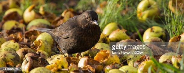 close-up of blackbird - apple stock pictures, royalty-free photos & images
