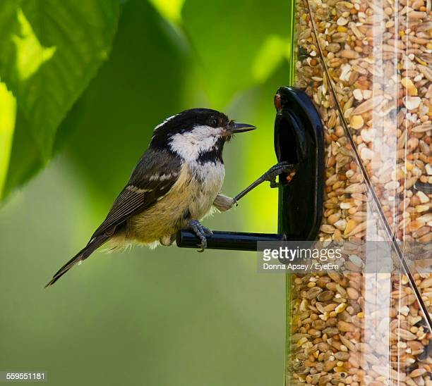 Close-Up Of Black-Capped Chickadee On Feeder