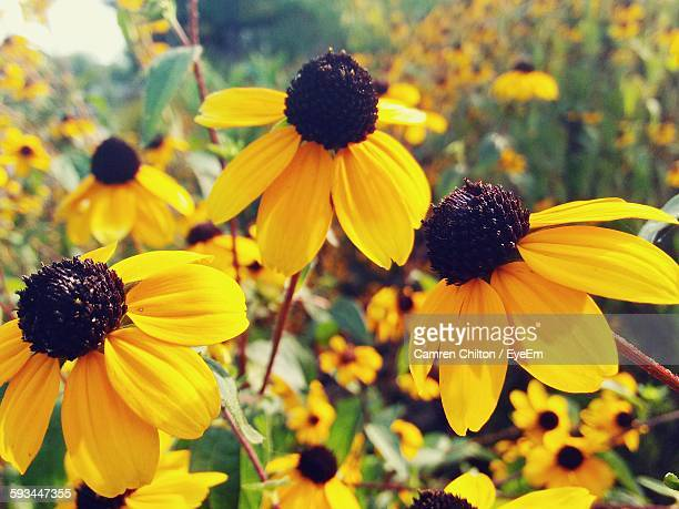 Close-Up Of Black-Eyed Susan Blooming Outdoors