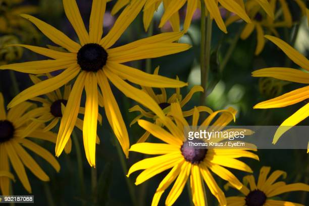 Close-Up Of Black-Eyed Yellow Flowers Blooming Outdoors