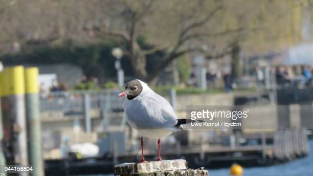 Close-Up Of Black-Headed Gull Perching Outdoors