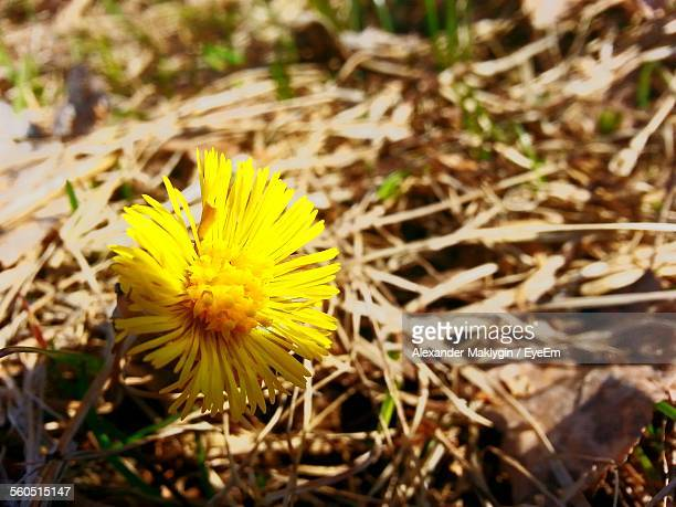 close-up of blooming coltsfoot outdoors - coltsfoot stock photos and pictures