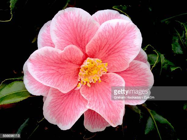 close-up of blooming pink flower - flower head stock pictures, royalty-free photos & images
