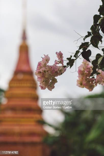 close-up of blossom tree against temple - bortes stock pictures, royalty-free photos & images