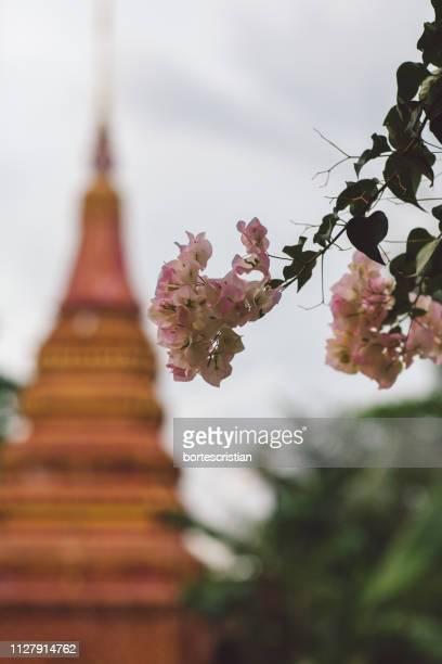 close-up of blossom tree against temple - bortes foto e immagini stock