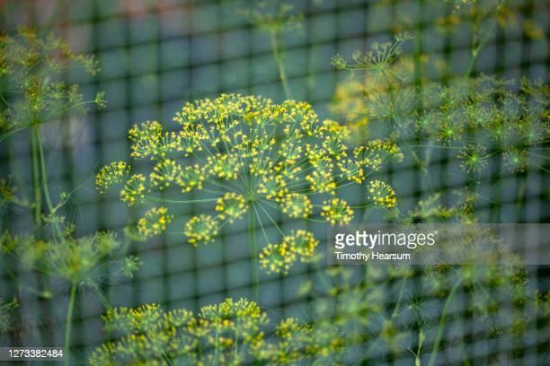 """close-up of blossoming dill seen through a screened """"grow-shack"""" in a backyard garden - timothy hearsum fotografías e imágenes de stock"""