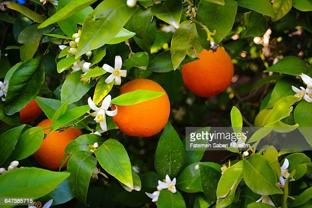 close-up of blossoms and fruits on orange tree at orchard - orange blossom stock photos and pictures