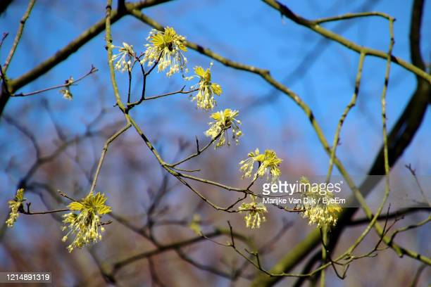 close-up of blossoms in spring - van dijk stock pictures, royalty-free photos & images
