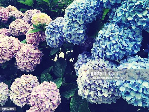 Close-Up Of Blue And Purple Hydrangea Flowers