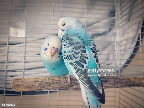 Close-Up Of Blue Budgerigars Perching On Wood In Cage