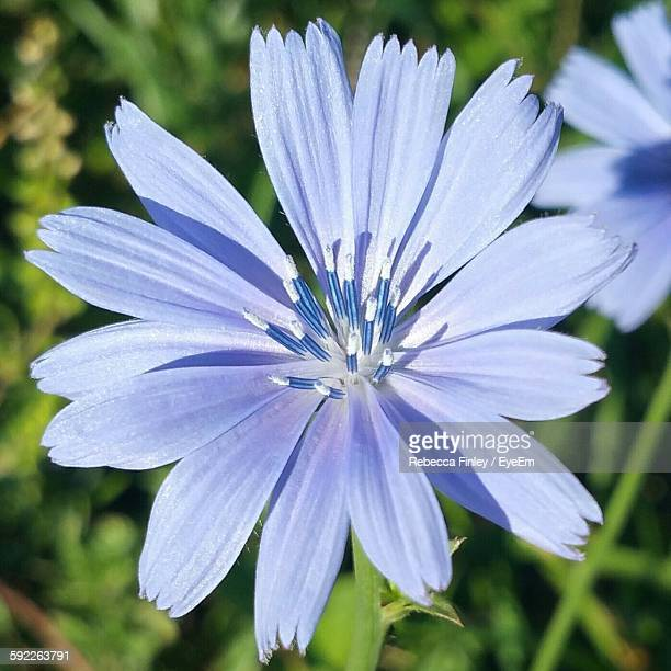 Close-Up Of Blue Chicory Growing Outdoors