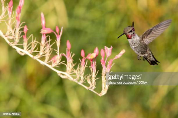 close-up of blue chinned sapphire hummingbird flying by flowers,arizona,united states,usa - anna's hummingbird stock pictures, royalty-free photos & images
