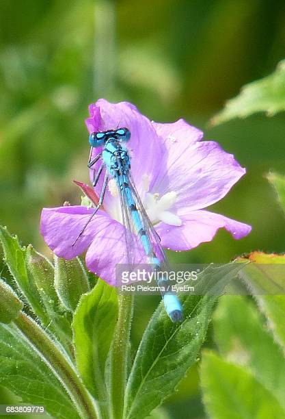 Close-Up Of Blue Damselfly On Pink Flower